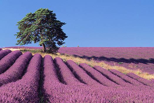 Lavender and Pine Tree by David Nunuk