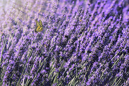 Lavender and Tiger Swallowtail in the Morning Light by Diane Schuster