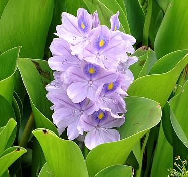 Lavender Beauty 2 by Carol Reynolds