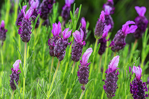 Lavender Blooms by Kelley King