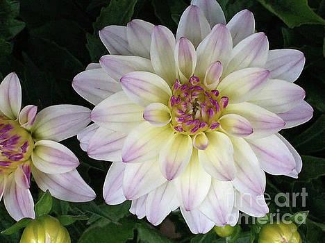 Lavender Christanthemum  by Jacklyn Duryea Fraizer