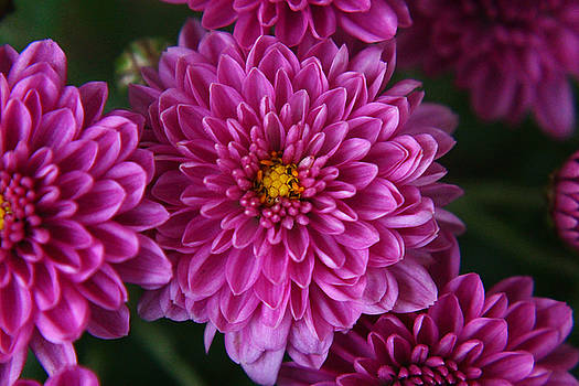 Lavender Chrysantheum by Carol Welsh