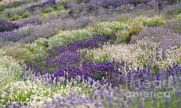 Lavender Fields Forever by Liz Alderdice