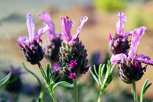 Frank Wilson - Lavender Flowers