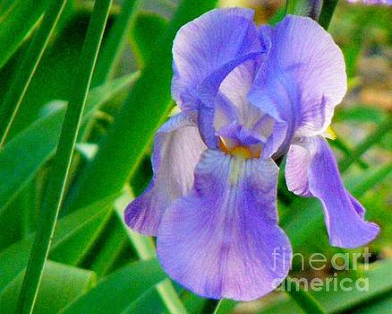 Lavender Iris by Diane McDougall