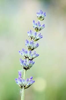 Lavender by Jeremy Sage