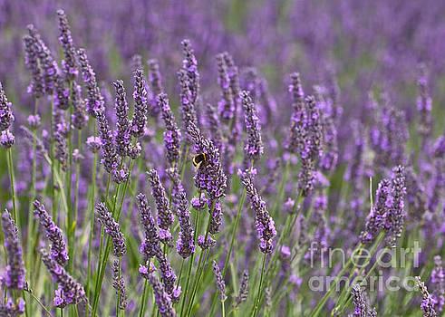 Lavender by Liz Alderdice