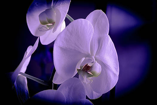 Lavender orchid by Sheree Lauth