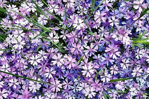 Lavender Phlox by Tonie Cook