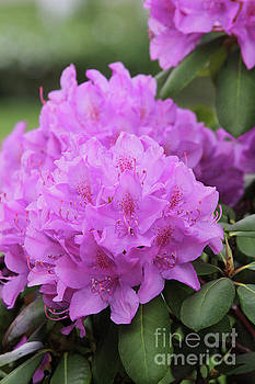Lavender Rhododendron by Judy Whitton