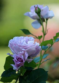 Rosanne Jordan - Lavender Roses