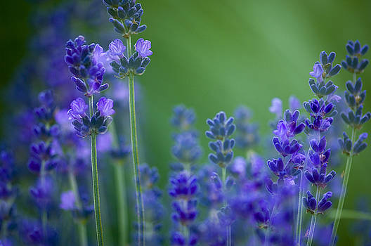 Lavender by Silke Magino