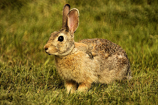 Lawn Bunny 1 by Scott Carlton