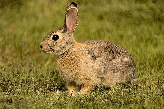 Lawn Bunny 2 by Scott Carlton