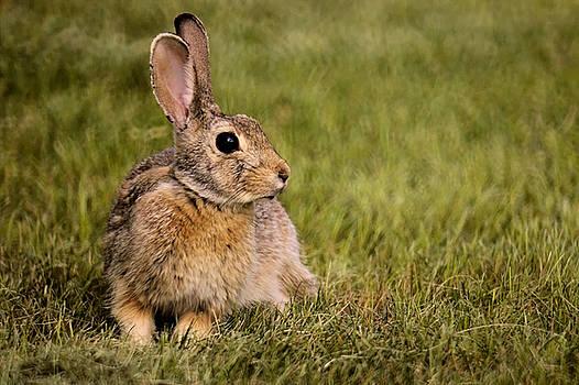 Lawn Bunny 3 by Scott Carlton