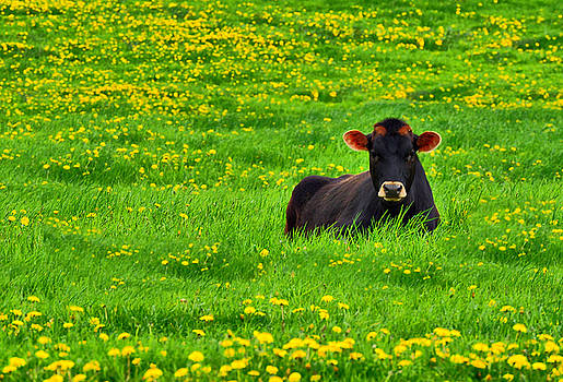Emily Stauring - Lazy Day Cow