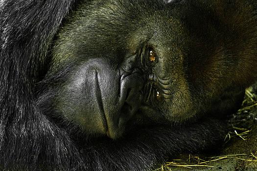 Lazy Silverback Gorilla by Tito Santiago