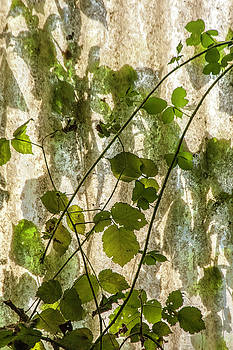 Leaf Abstract 2 by Sophie De Roumanie