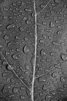 Leaf Dew Drop Number 12 BW by Steve Gadomski