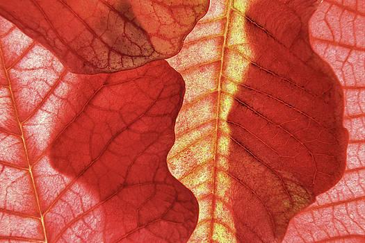 Leaf Patterns I by Leda Robertson