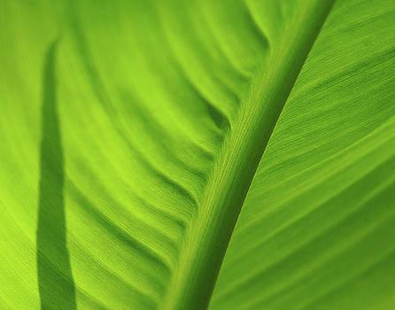 Leaf Study by Rod Kaye