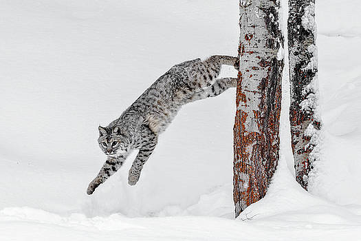 Leapin Bobcat D8918 by Wes and Dotty Weber