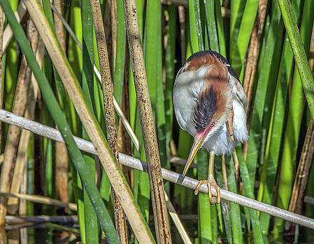 Least Bittern Head Scratch by Tam Ryan