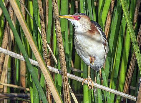 Least Bittern Leg Up by Tam Ryan