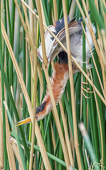 Least Bittern Neck Stretch by Tam Ryan