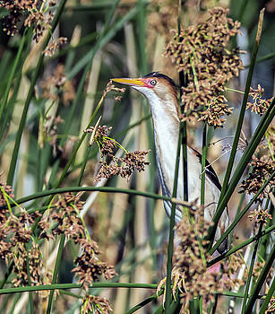 Least Bittern on Cattail by Tam Ryan
