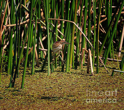 Least Bittern perching in the tall reeds by Louise Heusinkveld