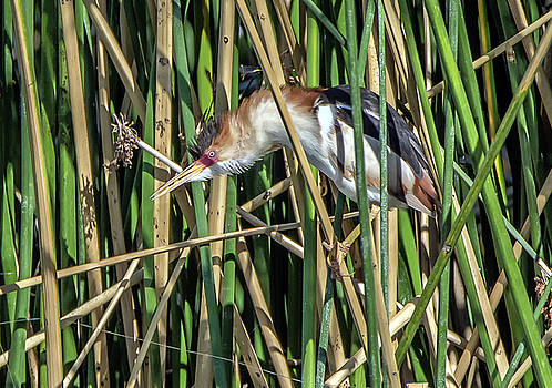 Least Bittern Spiked Feathers by Tam Ryan