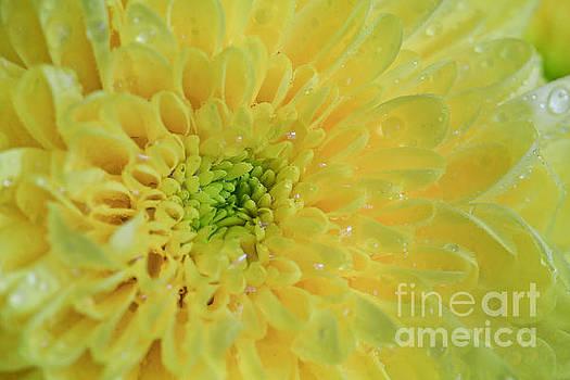 Lemon Starburst by Tracy  Hall