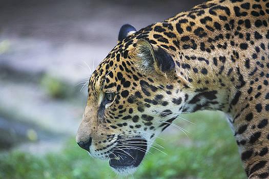 Leopard 2 by Michel DesRoches