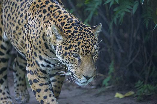 Leopard 3 by Michel DesRoches