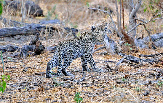 Leopard Cub on the Move by Tom Wurl
