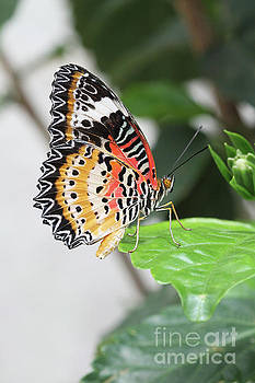 Leopard Lacewing Butterfly #2 by Judy Whitton