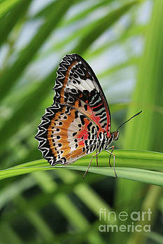 Leopard Lacewing Butterfly #3 by Judy Whitton