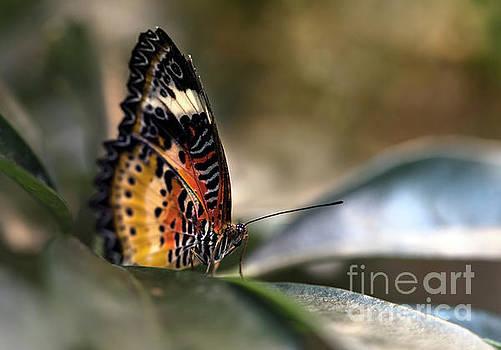Leopard Lacewing Butterfly Macro by Brandon Alms