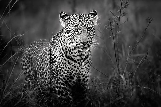 Leopard male looking for food in Masai Mara by Maggy Meyer