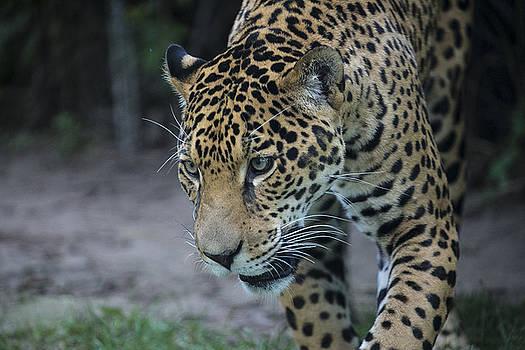 Leopard by Michel DesRoches