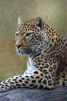 Leopard Profile by Ron Grafe