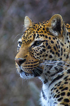 Leopard by Ron Grafe