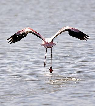 Lesser Flamingo... by Werner Lehmann