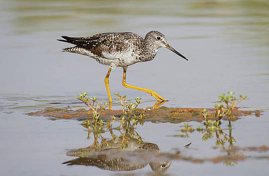 Greater Yellowlegs by Ruth Jolly