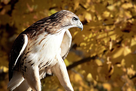 Leucistic Red Tailed Hawk by Angie Rea
