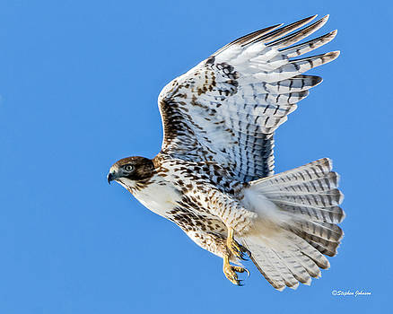 Light Morph Juvenile Red-tailed Hawk by Stephen Johnson