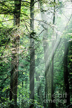 Light Rays in Forest by Thomas R Fletcher