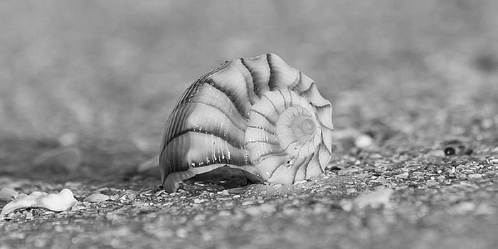 Lightning Whelk by Sean Allen