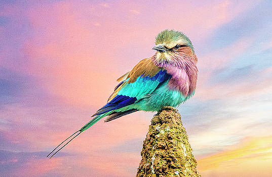 Lilac Breasted Roller at Sunset by Brian Tarr